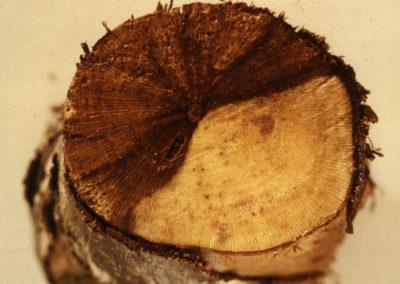 Necrose brune et dure en position sectorielle
