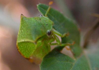 Cicadelle bubale - Stictocephala bisonia